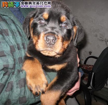 看家护院好帮手 纯种健康守护犬罗威那出售 品质保证4