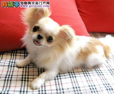 广州那个狗场买京巴好广州狗场直销京巴幼犬