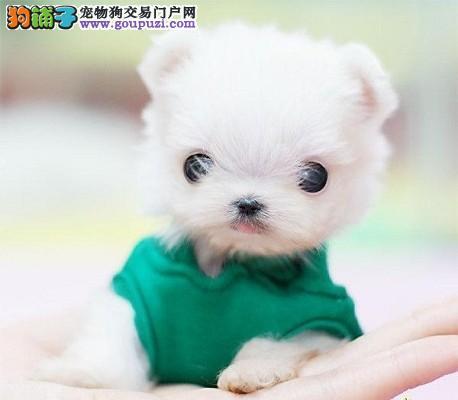 CKU犬舍认证出售高品质石家庄茶杯犬市内免费送货3