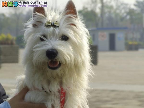 西高地幼犬出售 公母都有 质保三年 带证书可刷卡 纯种