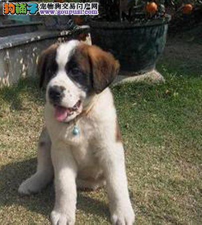 圣伯纳CKU认证犬舍自繁自销诚信经营三包终身协议