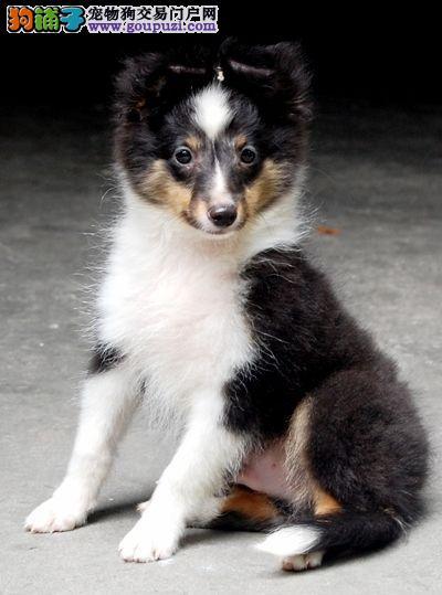 本店出售纯种血统喜乐蒂幼犬保质量可上门公母都有