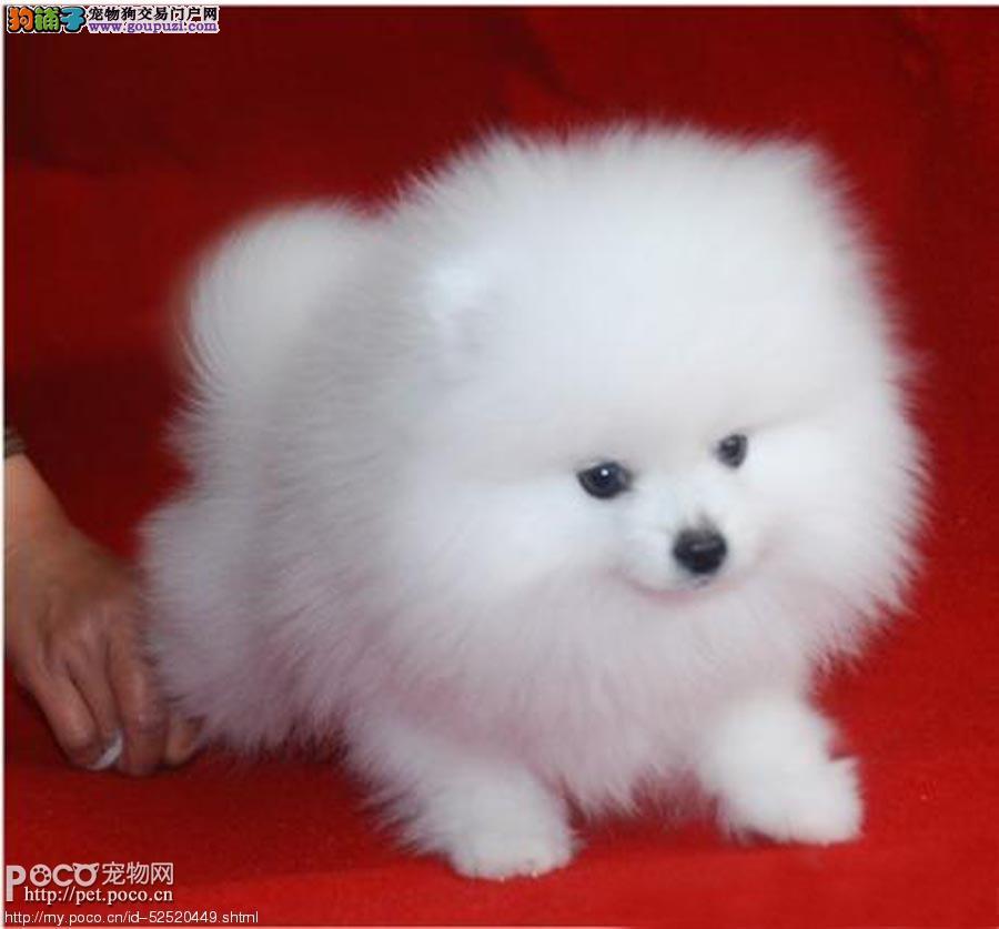博美茶杯犬寿命高清图片