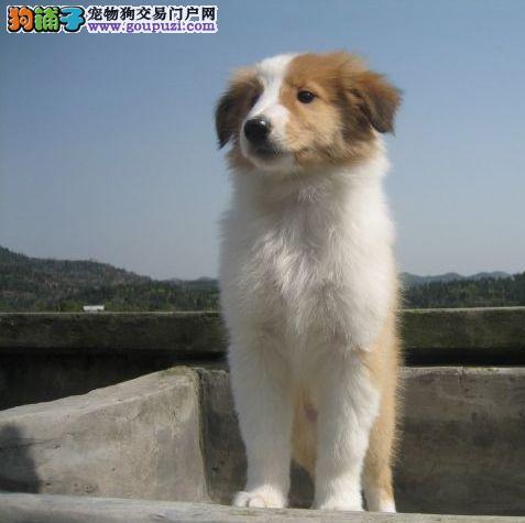 狗场专业繁殖基地:引进顶级血统 高品质的苏牧幼犬