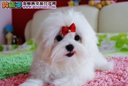 纯种马尔济斯幼犬、CKU品质绝对保证、签协议可送货