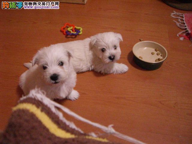 温州哪里可以买到纯种的西高地犬 温州西高地犬价格