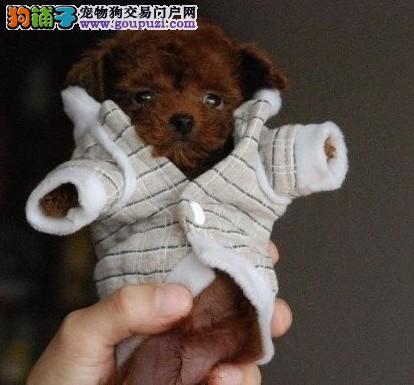 国际注册犬舍 出售极品赛级茶杯犬幼犬喜欢微信咨询3