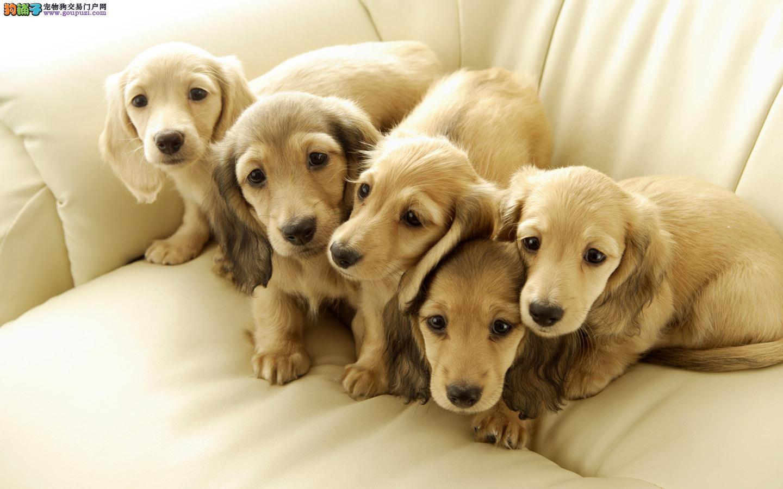 实体店热卖腊肠犬颜色齐全微信咨询看狗狗照片