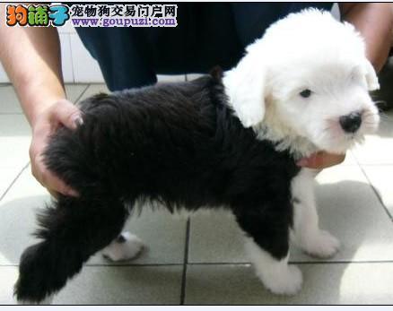 纯种古牧幼犬健康质保公母都有 疫苗做齐签订售后协议