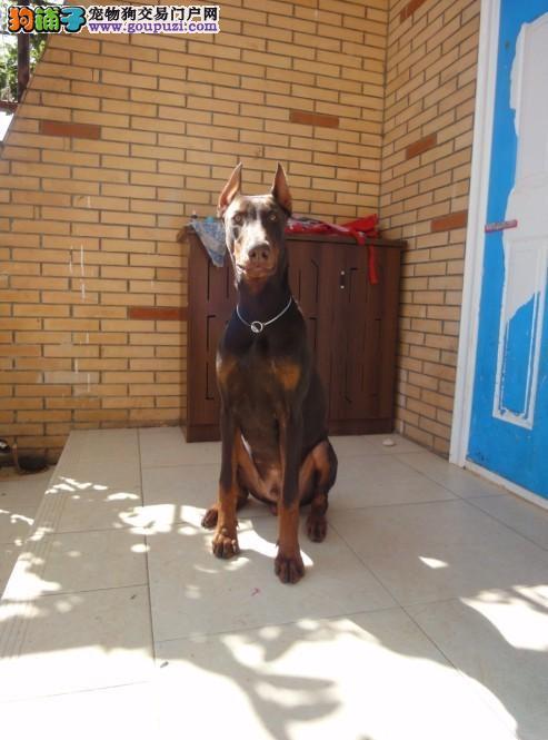 深圳售纯种杜宾犬 签协议欢迎参观选购笃宾犬