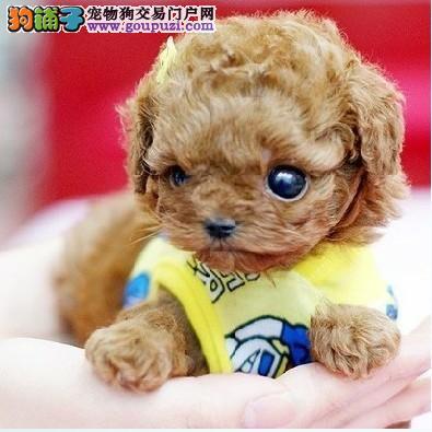 出售石家庄茶杯犬专业缔造完美品质狗贩子请勿扰