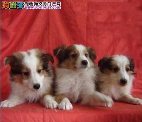 重庆出售纯种苏格兰牧羊犬不一定的生活不一样情调