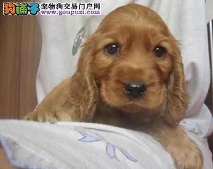 美系可卡犬 英系可卡犬签协议保健康出售 重庆正规狗场