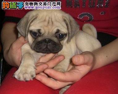 长治出售纯种超可爱矮脚巴哥幼犬灰色白色哈巴狗短毛