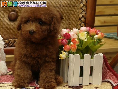 贵阳出售茶杯犬颜色齐全公母都有可以送货上门3