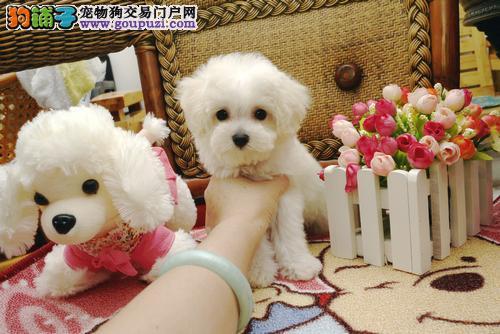 出售正宗血统优秀的哈尔滨茶杯犬期待您的咨询