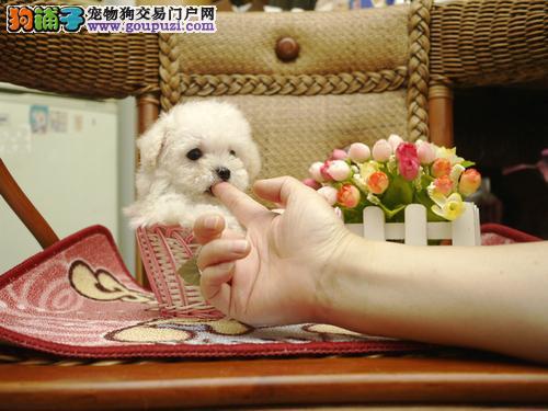 极品茶杯犬出售 品相血统一级棒 提供养护指导