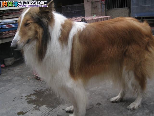 纯种的苏格兰牧羊幼犬宝宝出售 家庭饲养的苏牧犬出售