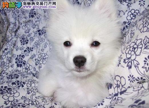 出售纯种 日本银狐犬 品种齐全 欢迎上门挑选