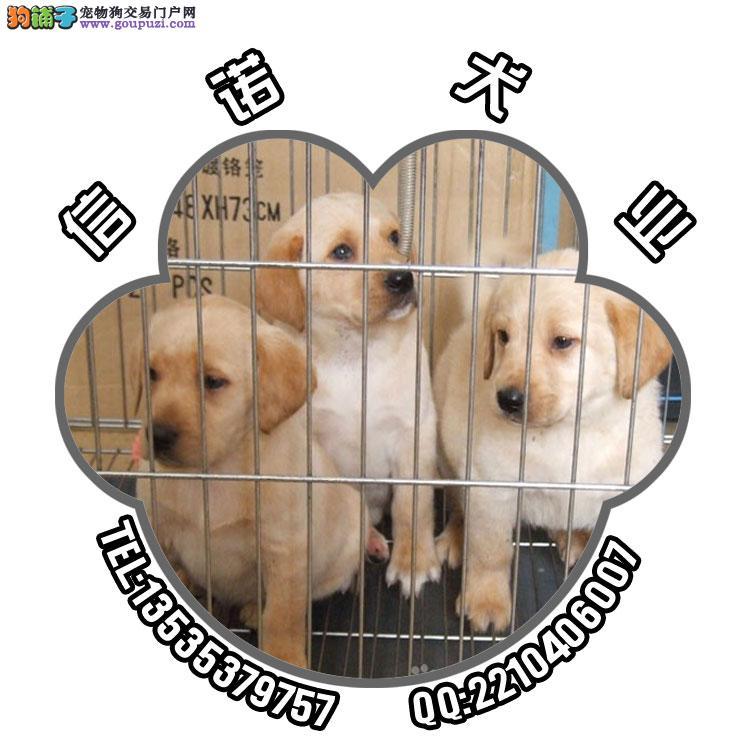 广州拉布拉多猎犬大概价格 广州什么地方有卖拉布拉多 高清图片