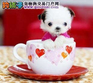 出售聪明伶俐呼和浩特茶杯犬品相极佳国际血统认证