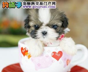 CKU犬舍认证出售高品质石家庄茶杯犬市内免费送货