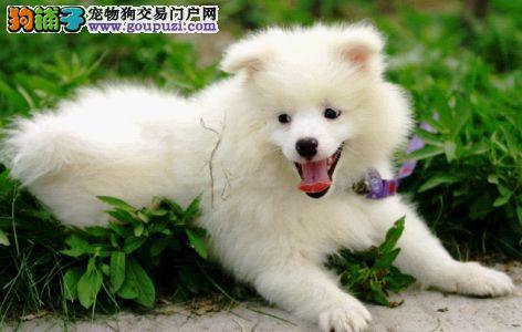 家养纯种银狐幼犬出售 健康纯种可签协议 可上门选购