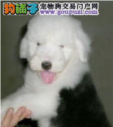 实物拍摄英国古牧幼犬出售 双血统白头黑背 太原出售