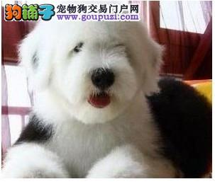 古牧 纯种 幼犬 古牧羊犬 全白 双蓝眼 健康