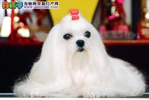 马尔济斯火爆销售中 纯度100%保证健康 提供养狗指导
