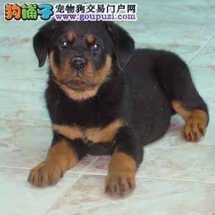 武汉罗威纳出售--最具勇气与力量的犬种3