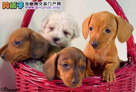 养殖场直销完美品相的腊肠犬微信咨询看狗狗照片