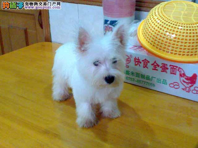 狗场特别推荐优质品质 西高地白梗 支持上门看狗