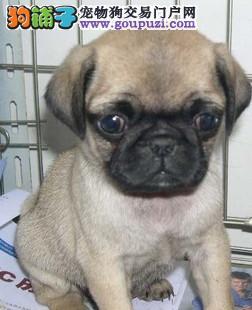吐鲁番专业繁殖纯种八哥犬,巴哥犬出售