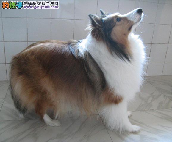 出售纯种健康的喜乐蒂幼犬全国十佳犬舍