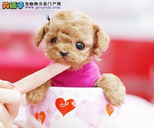 出售家养 茶杯袖珍犬超小型活泼可爱讨人喜欢快来购买