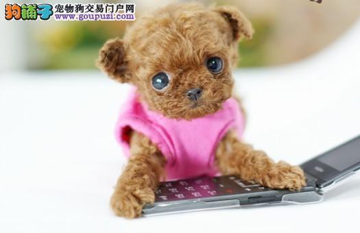 茶杯幼犬长不大的茶杯犬韩国日本迷你袖珍狗纯白色宠物