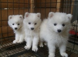盐城售血统纯正银狐幼犬公母全疫苗齐全健康质保签协议