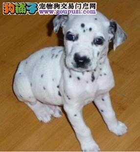 专业犬舍出售纯种斑点狗 全国空运 欢迎上门挑选