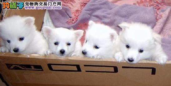 狗场直销高品质银狐犬 可以视频看狗狗 品质健康有保障