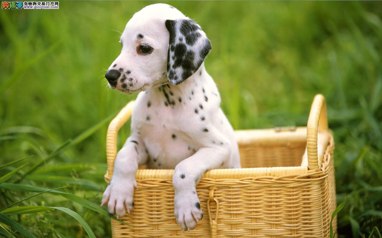 烟台自家繁殖纯种斑点狗 可见狗父母先体检半年包退换