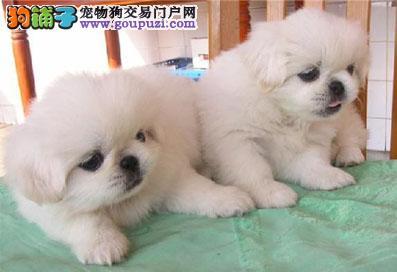 出售纯种京巴幼犬、京巴宝宝、保健康可送货上门