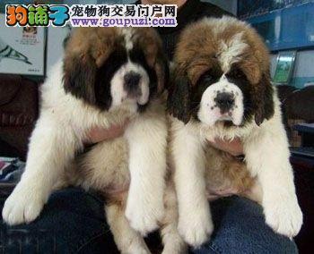 出售高大威猛圣伯纳幼犬 纯种健康 品相优良3