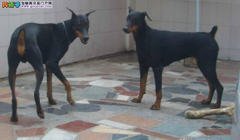提升亲密度 科学饲养年幼的杜宾犬