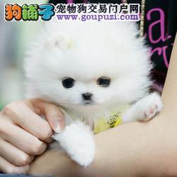 广州茶杯泰迪熊犬价格 广州哪家狗场买茶杯犬好4