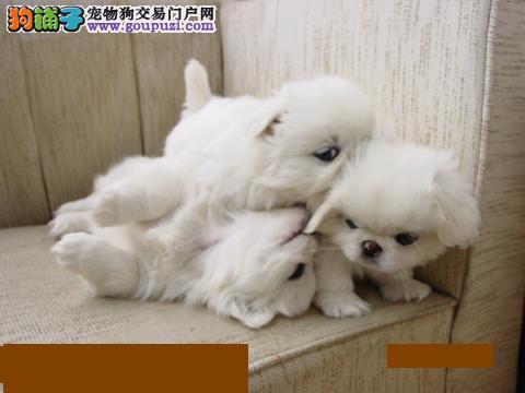 喜迎国庆佳节买京巴狗宝宝送大礼包西宁有售快带回家吧