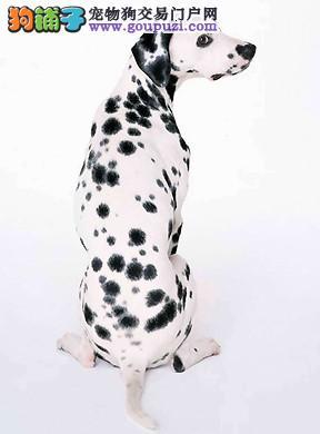 济宁市出售斑点狗 包健康签协议 三针疫苗打完 送用品