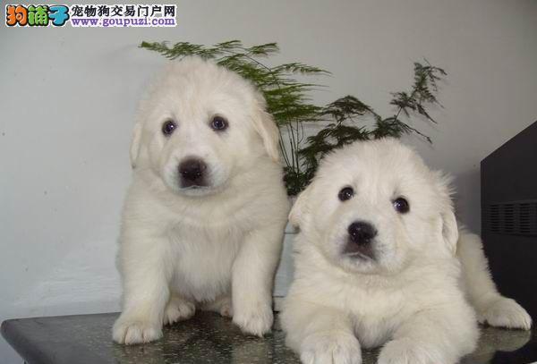 襄樊出售纯种血统健康体魄的大白熊 实体犬舍放心购买