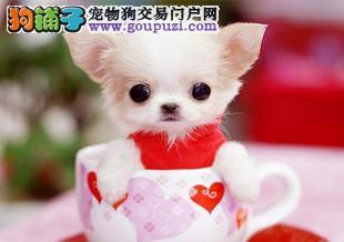 哪里有卖茶杯犬 茶杯犬价格