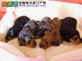 出售腊肠犬颜色齐全公母都有血统证书芯片齐全
